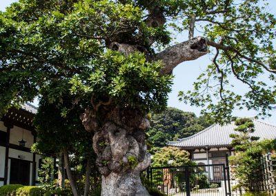 Árbol en la entrada al templo Hasedera