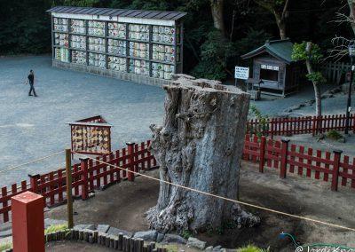 Restos del árbol milenario y barriles de sake