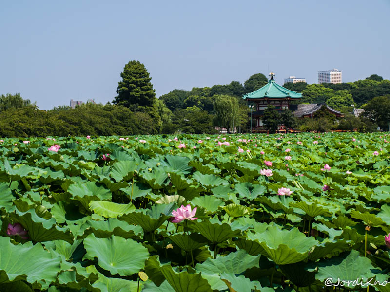Charca Shinobazu con flor de loto y el Templo Bentendo