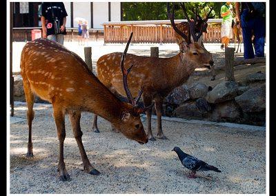 Ciervos en Nara, cerca de Kyoto